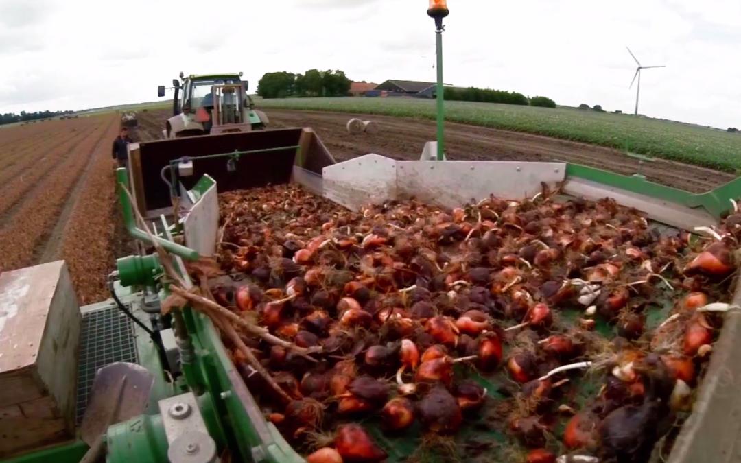 Hoe haal je tulpenbollen uit de grond om te exporteren? AgriTraderTV #6