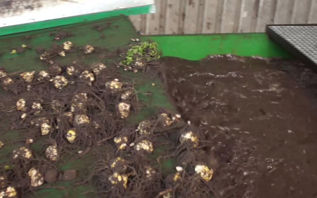 Deze leliebollen worden gewassen, geknipt en geschoren – AgriTraderTV #21